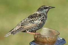 Winter Plumage European Starling Sturnus vulgaris. On a feeder with a green background Royalty Free Stock Photos