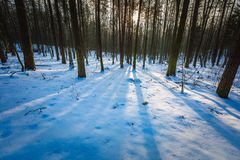 Winter polish forest Stock Images