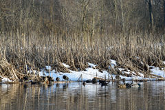 Winter pond. Birds in a snowy pond Stock Images