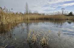 Winter pond with reedbed Royalty Free Stock Photos