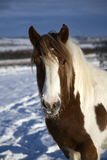 Winter pony Royalty Free Stock Photography
