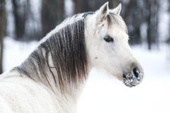 Winter pony. White Welsh pony portrait in a winter landscape Royalty Free Stock Images