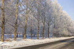 Winter poplar trees alley Stock Photos