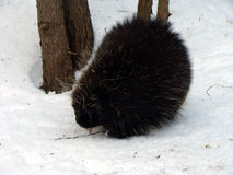 Winter Porcupine Stock Photography