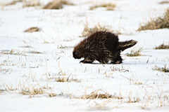 Winter Porcupine. A porcupine out for a little stroll, looking for some food on a warm winter day Stock Photography