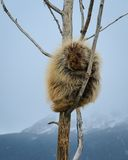 Winter Porcupine. Stock Images