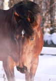 Winter portrait of bay horse Stock Images