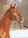 Winter portrait of beautiful young red  horse Stock Image