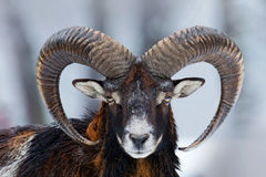 Winter portrait of big forest animal. Mouflon, Ovis orientalis, forest horned animal in nature habitat. Close-up portrait of mamma Stock Image