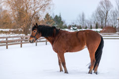 Winter portrait of a brown thoroughbred horse Royalty Free Stock Images