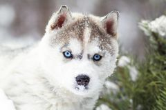 Winter portrait of a cute husky puppy against a background of snowy nature in the forest. Winter portrait of a cute blue-eyed husky puppy, dog against a Royalty Free Stock Photography