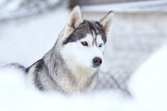 Winter portrait of a cute husky dog against a snowy na. Winter portrait of a cute blue-eyed husky dog against a snowy nature background royalty free stock images