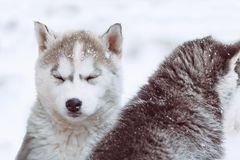 Winter portrait of a cute husky puppy against on nature background. Winter portrait of a cute husky puppy against a snowy nature background Royalty Free Stock Image