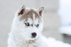 Winter portrait of a cute husky puppy against a snowy nature background. Winter portrait of a cute blue-eyed husky puppy against a snowy nature background Royalty Free Stock Images