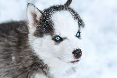 Winter portrait of a cute husky puppy against a snowy nature background. Winter portrait of a cute blue-eyed husky puppy, dog against a snowy nature background Stock Photos