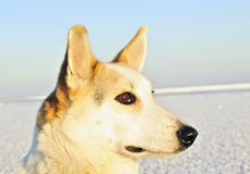 Winter Portrait of a dog. close up Royalty Free Stock Photography