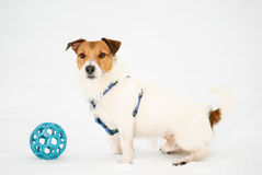 Winter portrait of fluffy dog. Jack Russell Terrier with blue ball Royalty Free Stock Images