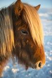 Winter portrait of Icelandic horse, Iceland Royalty Free Stock Photos