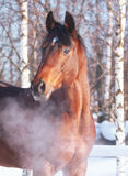 Winter Portrait Of Bay Horse Royalty Free Stock Photography