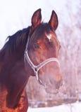 Winter Portrait Of Bay Horse Stock Photo