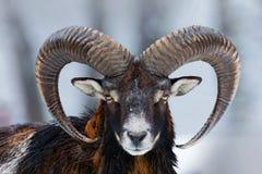 Winter Portrait Of Big Forest Animal. Mouflon, Ovis Orientalis, Forest Horned Animal In Nature Habitat. Close-up Portrait Of Stock Image