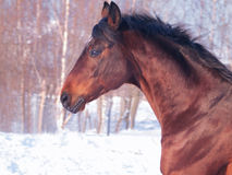 Winter Portrait Of Running Bay Horse Royalty Free Stock Image