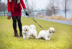 Winter portrait of pregnant woman walking dogs Royalty Free Stock Photography