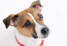 Winter portrait of sad dog. Jack Russell Terrier on white background Royalty Free Stock Images