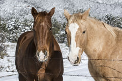Winter Portrait two horses Royalty Free Stock Images