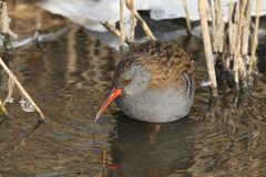Winter portrait of water rail with an icy drop on a beak. Stands in the water Royalty Free Stock Images