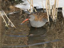 Winter portrait of water rail with an icy drop on a beak. Stands in the water Royalty Free Stock Image