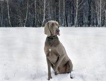 Winter portrait of a weimaraner
