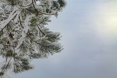 Winter Postcard with Pine Tree in Snow and Sunshine Stock Images