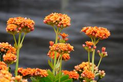 Winter pot kalanchoe Stock Image