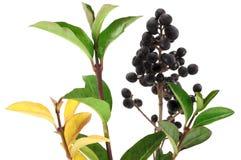 Winter privet berries. Stock Image