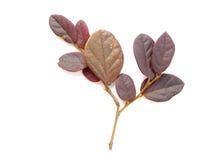 Winter privet twig. Royalty Free Stock Photos