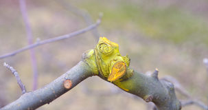 Winter pruned and protected apple tree Royalty Free Stock Photos