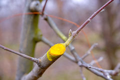Winter pruned and protected apple tree Stock Photography