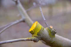 Winter pruned and protected apple tree Royalty Free Stock Photo