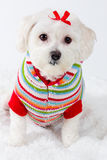Winter puppy dog wearing striped jumper. Winter puppy dog wearing a striped jumper in the snow Stock Photography