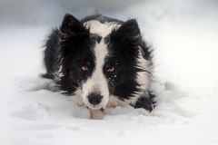 Winter puppy fairy tale portrait of a border collie dog in snow. Winter fairy tale portrait of a border collie dog in snow stock photos