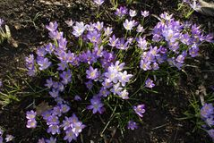 Winter purple crocus flowers on ground floor. Winter purple wild, perennials crocus flowers on ground floor, in forest for illustration, baqckground stock images