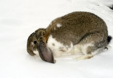 Winter rabbit Stock Photography
