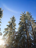 Winter rainbow and spruce tops. Winter tree tops on blue sky with some snowfall background and rainbow in snow dust stock photo