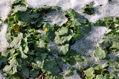 Winter rape which is well wintered under snow_4 Stock Photo