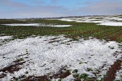 Winter rape which is well wintered under snow. Field of winter rape, which is well wintered under snow Stock Image