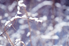 Winter raspberry branches covered with snow. Frozen raspberry bush branch in winter forest. Background Stock Photos