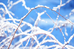 Winter raspberry branches covered with snow. Frozen raspberry bush branch in winter forest. Background Stock Photo