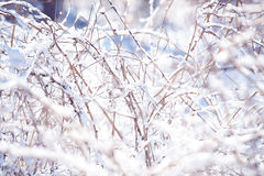 Winter raspberry branches covered with snow. Frozen raspberry bush branch in winter forest. Background Royalty Free Stock Photos