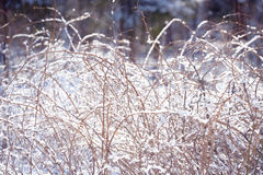 Winter raspberry branches covered with snow. Frozen raspberry bush branch in winter forest. Background Royalty Free Stock Photography
